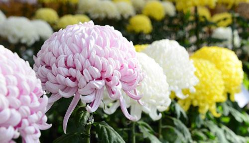 Flor Nacional de Japón