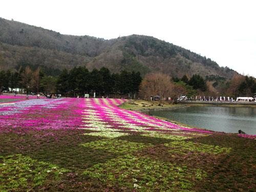 Festival Shibazakura en el Mt Fuji
