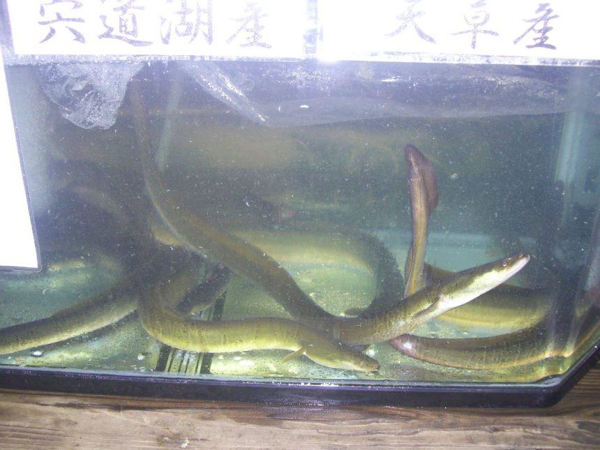 Unagi - Anguilas -
