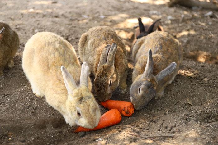 conejo en Okunoshima